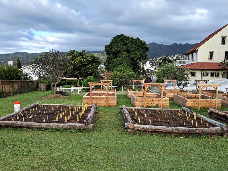 kalo planted at Lunalilo Home