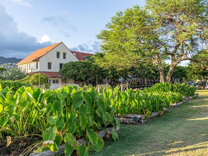 Kalo flourishing at Lunalilo Home